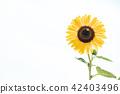 ดอกไม้ฤดูร้อนดอกทานตะวัน 42403496