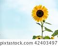 ดอกไม้ฤดูร้อนดอกทานตะวัน 42403497
