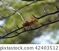 คาลิกูลา japonica 42403512