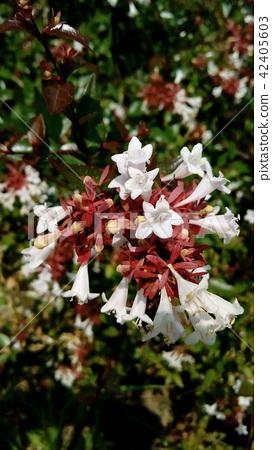 Aberia的白花在人行道上看起來很好 42405603