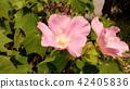 hibiscu, hibiscus mutabili, bloom 42405836