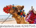 Camel on the beach of Hurghada, Egypt 42407545