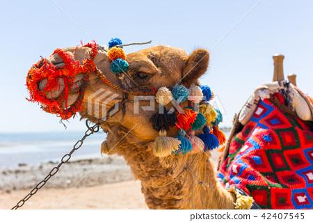 Camel on the beach of Hurghada, Egypt 42407545