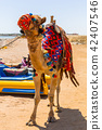 Camel on the beach of Red Sea in Egypt 42407546
