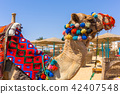 Camel on the beach of Red Sea in Egypt 42407548