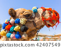 Camel on the beach of Red Sea in Egypt 42407549