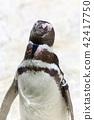 Magellanic Penguin Portrait. 42417750