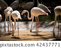 Flamingo 42437771
