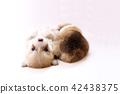 柯基 威爾士矮腳狗 彭布洛克威爾士科基犬 42438375