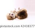 柯基 威爾士矮腳狗 彭布洛克威爾士科基犬 42438377