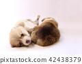 柯基 威爾士矮腳狗 彭布洛克威爾士科基犬 42438379