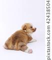 ลูกสุนัข Corgie 42438504