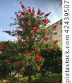 callistemon, full bloom, bloom 42439507