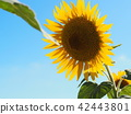 Sunflower of one wheel 42443801