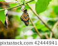 Hanging butterflies and cocoons  42444941