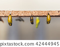 Hanging cocoons and larvae  42444945