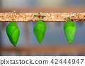 Hanging cocoons and larvae 42444947