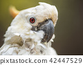 Portrait of white Cockatoo, Sulphur-crested  42447529