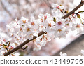 Beautiful cherry blossom sakura in spring time. 42449796
