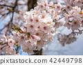 Beautiful cherry blossom sakura in spring time. 42449798