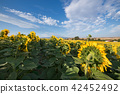Field of sunflowers on a sunny day. 42452492