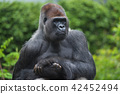 Portrait of a west lowland silverback gorilla 42452494