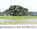 Kuromatsu自然纪念碑山形县 42462231