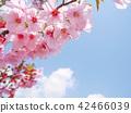 Pink sakura blossoms under blue sky white clouds 42466039