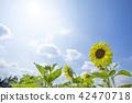 向日葵向日葵向日葵 42470718