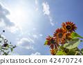 向日葵向日葵向日葵 42470724