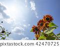 向日葵向日葵向日葵 42470725