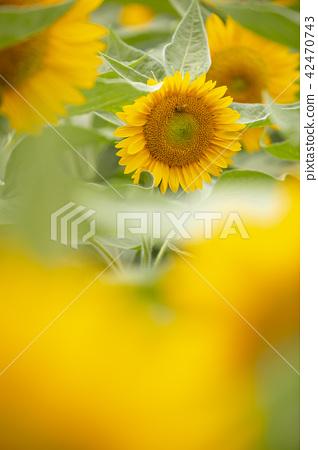 向日葵向日葵向日葵 42470743