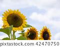 向日葵向日葵向日葵 42470750
