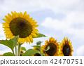 向日葵向日葵向日葵 42470751