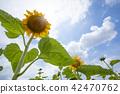 向日葵向日葵向日葵 42470762