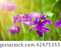 Close up of Japanese iris flower 42475355