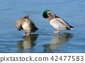 avian, bird, mallard 42477583