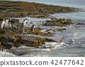 Gentoo Penguins going to sea 42477642