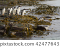 Gentoo Penguins going to sea 42477643