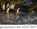 Gentoo Penguins going to sea 42477647