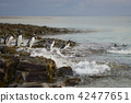 Gentoo Penguins going to sea 42477651