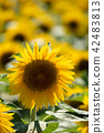 빛 가득한 해바라기 밭 42483813