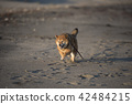 석양의 해변을 달리는 귀여운 시바견 42484215