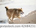หมาชิบะ,สุนัข,สุนัช 42484231