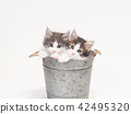 兩個碗在鍋蓋挪威江森林小貓的小貓 42495320
