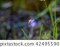 식충식물, 산야초 42495590
