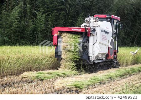 收割機 稻田 42499523