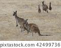 Western Grey Kangaroo, Macropus fuliginosus 42499736