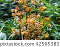 산야초, 곤고산, 콘고산 42505383