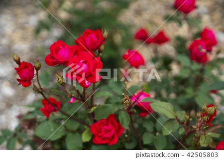 玫瑰园玫瑰(品种双敲门) 42505803